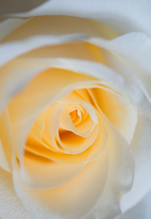 macro shot of beautiful apricotcolor rose flower. floral background Banque d'images