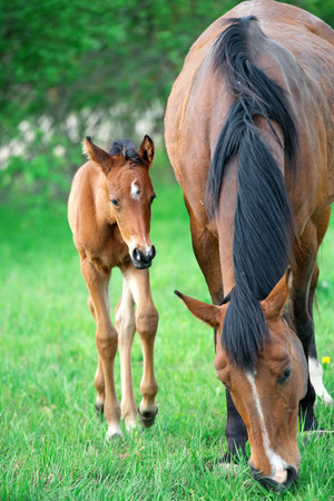 little bay foal with mom at pasture. summer Banque d'images