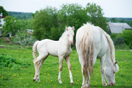 pony cream foal with mom in green grass meadow Stock fotó
