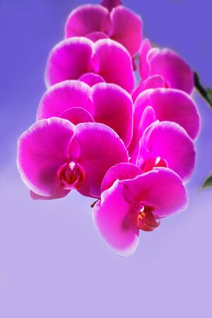 Beautiful pink phalaenopsis orchid flower around the white background. Close up Фото со стока