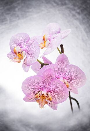 Beautiful White- Pink speckled phalaenopsis Orchid Flower . close up Фото со стока