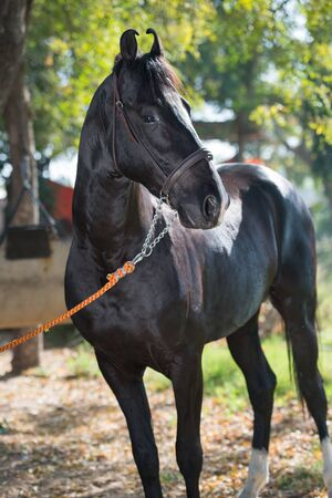 portrait of beautiful  black  Marwari breed stallion posing in garden. traditional indian bre