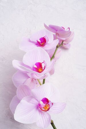 Beautiful soft Pink strips phalaenopsis Orchid Flower around white background. close up
