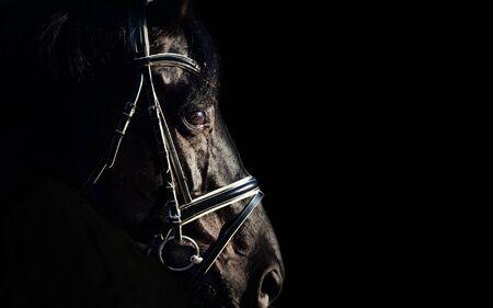 portrait of Beautiful black stallion at black background. close up Standard-Bild