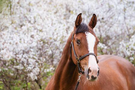 portrait of bay sportive horse posing near blossom tree. spring