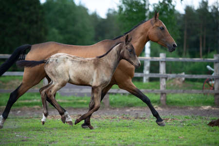 running purebred akhalteke dam with foal in the paddock Banque d'images