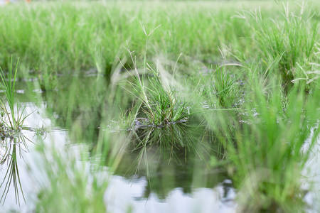 beautiful mirror of grass at stagnant water, Round Galingale, Cyperus rotundus