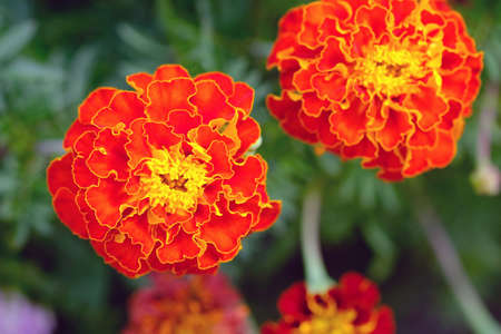 Marigold (Tagetes) close up. Bright orange flowers of tagetes in the summer garden. Flowers for the design of flower beds.