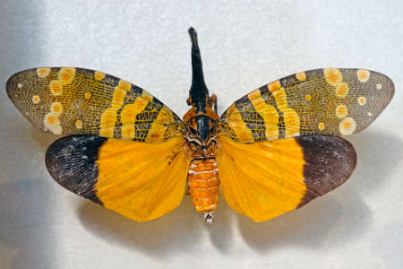 Dark-horned Lantern-fly (Pyrops spinolae) is a species of planthopper. their fore wings, yellow-orange hind wings with a black zone around the wing tips.