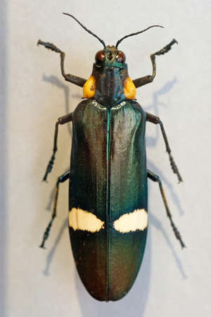 Chrysochroa ocellata is a gemstone beetle or a metal wood-boring beetle of the Buprestidae family. Big green beetle top view, Malaysia. megaloxantha bicolor nigricornis Imagens