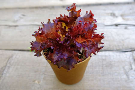 Red lettuce grows in a pot on a gray background.