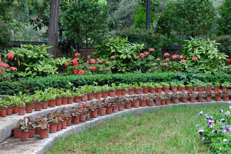 Many plastic brown pots with plants in the garden. Growing seedlings for flowers in pots in the open air. Stock Photo - 133494077