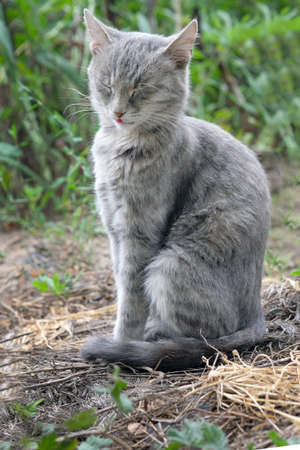 Cute gray cat with closed eyes sits on a garden bed. A homeless cat falls asleep in the garden of a summer cottage. Funny pets.
