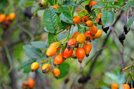 Rosehip branch close-up. Summer season, ripening orange rose hips with green leaves. Rosehip for medicine, cosmetology, in the landscaping and decoration of streets, parks, squares. 스톡 콘텐츠