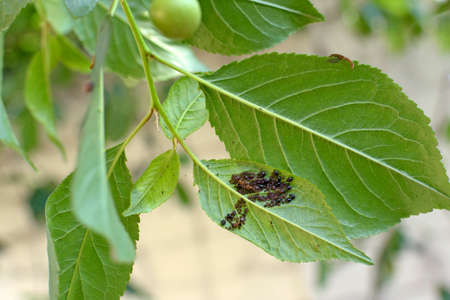 A branch of cherry with leaves on which aphid. Aphidoidea colony damages trees in the garden by eating leaves. Dangerous pest of cultivated plants Stock Photo
