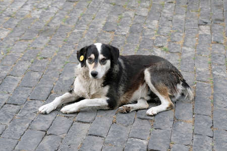 Stray dog with a tag on the ear. A dog with a white-black color lies on the sidewalk with a chip in the ear. Caring for homeless animals.