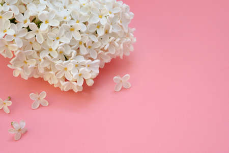 White flowers of lilacs on a pink background. Romantic floral background, spring coming concept. A sprig of white lilac (Syringa) closeup. copy space