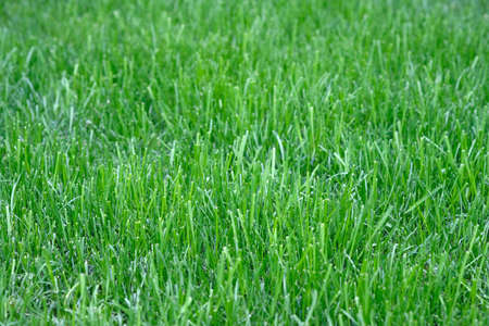 Lawn Grass Mowing Background. Green Lush Mowed Lawn Grass In The Park. spring nature background Фото со стока - 146878175