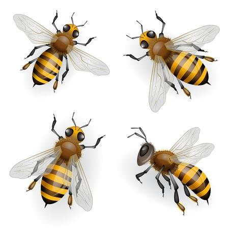 stinger: Honey bees