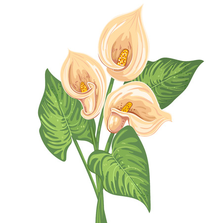 bunch flowers: Bouquet of calla lilies with green leaves.