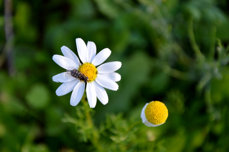 white daisy flower and insect Imagens