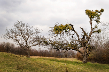 duality: a mistletoe infested tree is standing near a tree that is not affected by the parasite plant.
