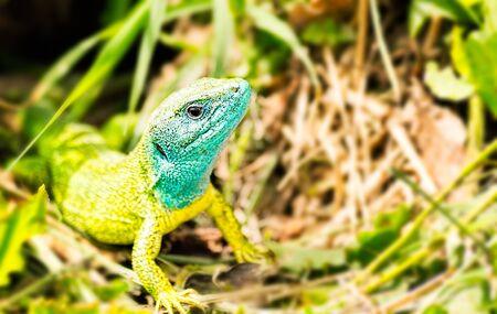 lizard in field: Primer plano de un lagarto verde europeo masculino (Lacerta viridis)