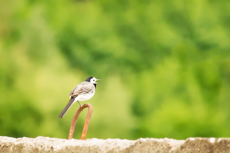white wagtail: Juvenile White Wagtail (Motacilla alba) standing on one leg on a rusty iron loop.