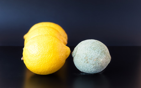penicillium: Organic lemon covered in dry gray blue mold on a black background placed near three healthy ones.