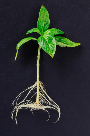Small basil plant with clean white roots isolated on a dark textured background