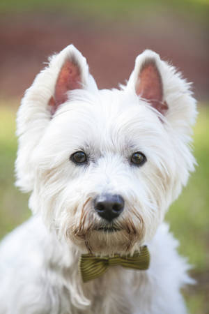 westie: Westie posing outdoors with a bow tie Stock Photo