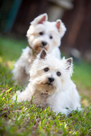 cute westie: Two white canine friends Stock Photo