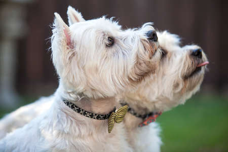 canine: Two white canine friends Stock Photo