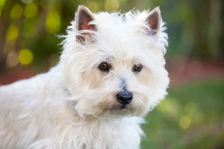cairn: Cairn Terrier posing outdoors Stock Photo