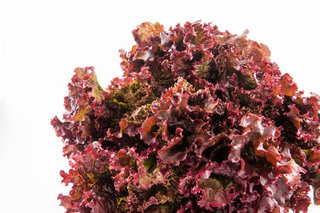 lactuca sativa: Purple romaine lettuce (Lactuca sativa) isolated in white background Stock Photo