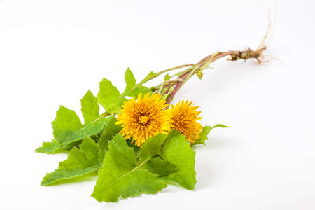 Common dandelion (Taraxacum officinale) on white background