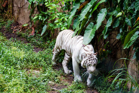 White tiger (Panthera tigris tigris) in captivity Stock Photo