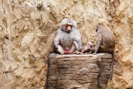 Baboons family (hamadryas baboon) in captivity