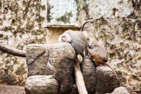 Baboons removing fleas (hamadryas baboon) in captivity