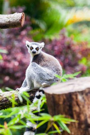 Ring-tailed lemur (Lemur catta) in captivity Stock Photo