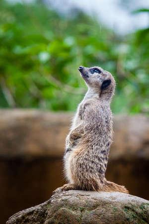 Meerkat (Suricata suricatta) sentry Stock Photo