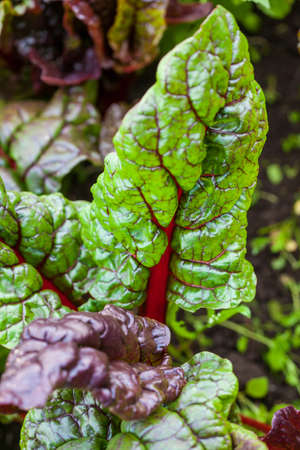 Red stem chard (Beta vulgaris subsp. Vulgaris) at organic cultivation field Stock Photo