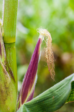 有機トウモロコシ栽培の畑でトウモロコシの穂軸 (トウモロコシ)