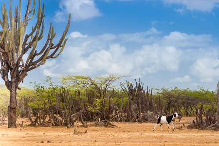 Cactus, trees and goat at Cabo de la Vela desert