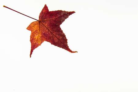 botanics: Autumn colored Liquidambar styraci?ua leaf isolated on white background Stock Photo