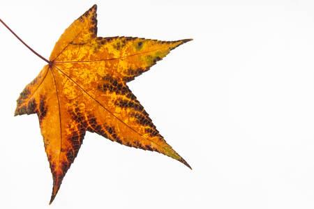 botanics: Autumn colored Terminalia catappa leaf isolated on white background