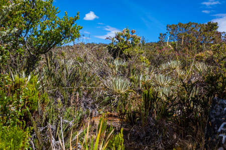 Typical vegetation of the paramo areas in Colombia