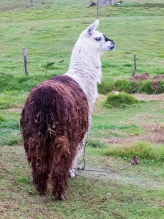 Also called Alpaca on a green field at the Colombian mountains near to Bogota Stock fotó
