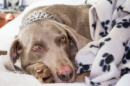 The queen of the house lying on the bed wearing her crown