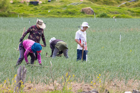 BOYACA, COLOMBIA - FEBRUARY 2021. Peasants working on a green onion field at the Boyaca Department in Colombia